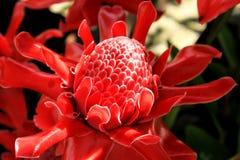 La fleur rouge de gingembre de torche sont colorée et floraison Photos stock