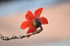 la fleur rouge de kapok avec le fond lumineux de bokeh, se ferment vers le haut de la vue images stock