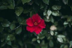 La fleur rouge de ketmie sur le vert part du fond Jardin tropical Fermez-vous vers le haut de la vue de la fleur rouge de ketmie  image stock