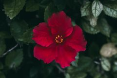 La fleur rouge de ketmie sur le vert part du fond Jardin tropical Fermez-vous vers le haut de la vue de la fleur rouge de ketmie  photo libre de droits