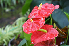 La fleur rouge et les baisses de spadix arrosent dans le jardin Photographie stock