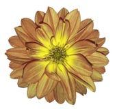 La fleur rouge-jaune d'automne de dahlia sur le blanc a isolé le fond avec le chemin de coupure Pour la conception closeup Photos stock