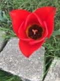 La fleur rouge parfaite de l'amour image stock