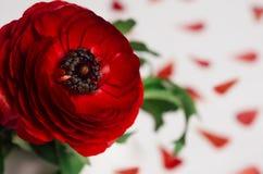 La fleur rouge passionnée avec des pétales et le vert laisse le plan rapproché sur le fond en bois Fond floral de source Photos libres de droits