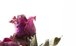 La fleur s'est levée images libres de droits