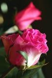 La fleur s'est levée Photo stock