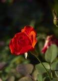 La fleur s'est levée Photos stock