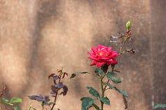 La fleur s'est levée Photographie stock libre de droits