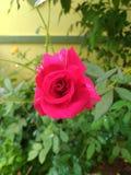 La fleur s'est levée dans l'Inde images libres de droits