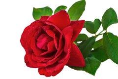 La fleur s'est levée dans les baisses de la rosée, d'isolement sur le fond blanc Photos stock
