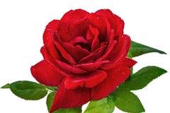 La fleur s'est levée dans les baisses de la rosée, d'isolement sur le fond blanc Image libre de droits