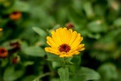 La fleur sauvage jaune a choisi photographie stock