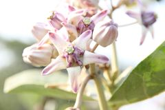 La fleur sauvage a trouvé dans les forêts tropicales dans l'Inde de maharashtra Photographie stock