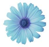 la fleur Turquoise-violette de marguerite sur un blanc a isolé le fond avec le chemin de coupure Fleurissez pour la conception, t photo libre de droits