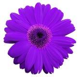 La fleur violette de gerbera, blanc a isolé le fond avec le chemin de coupure closeup Aucune ombres Pour la conception photo stock