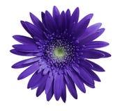 La fleur violette de gerbera sur le blanc a isolé le fond avec le chemin de coupure closeup Aucune ombres Pour la conception image stock