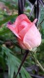 La flor foto de archivo libre de regalías