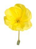 La flor amarilla brillante de la onagra de Missouri aisló a imágenes de archivo libres de regalías