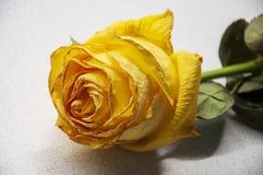 La flor amarilla brillante grande descolorada de la rosa est? poniendo en la tabla blanca con su reflexi?n de la sombra hojas y e imagenes de archivo