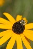 La flor amarilla con manosea la abeja 1 imagen de archivo libre de regalías