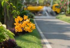 La flor amarilla de la buganvilla en el camino con el fondo amarillo del camión Foto de archivo libre de regalías