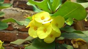 La flor amarilla de la floración con verde sale de las fotos fotos de archivo libres de regalías
