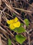 La flor amarilla de la primavera con verde se va en un fondo de la hierba amarilla vieja Imagenes de archivo