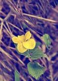 La flor amarilla de la primavera con verde se va en un fondo de la hierba amarilla vieja Fotos de archivo libres de regalías