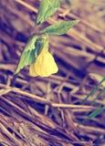 La flor amarilla de la primavera con verde se va en un fondo de la hierba amarilla vieja Fotografía de archivo libre de regalías
