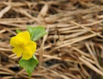 La flor amarilla de la primavera con verde se va en un fondo de la hierba amarilla vieja Imagen de archivo