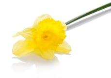 La flor amarilla de un narciso, aislada en blanco Fotos de archivo libres de regalías