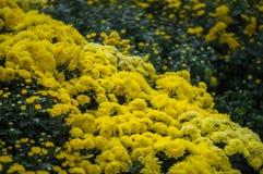 La flor amarilla del crisantemo está floreciendo en el jardín Foto de archivo libre de regalías