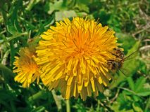 La flor amarilla del diente de león del Taraxacum con verde se va en un fondo brillante del cielo azul Foto de archivo libre de regalías