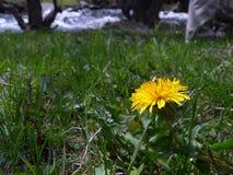 La flor amarilla del diente de león del Taraxacum con verde se va en un fondo brillante del cielo azul Fotos de archivo libres de regalías