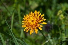 La flor amarilla del sol imagen de archivo