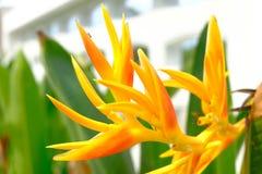 La flor amarilla es un uso de Tailandia para adornado en diverso ceremon Fotografía de archivo