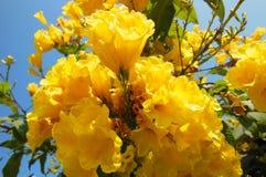 La flor amarilla florece el primer en frutex con el cielo beautifuly azul y la hoja verde Fotos de archivo libres de regalías