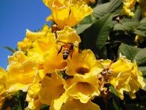 La flor amarilla florece el primer en frutex con el cielo beautifuly azul y la hoja verde Fotografía de archivo libre de regalías