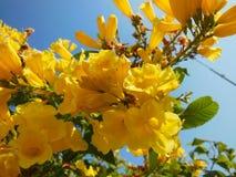 La flor amarilla florece el primer en frutex con el cielo beautifuly azul y la hoja verde Fotografía de archivo