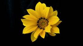 La flor amarilla florece timelapse almacen de metraje de vídeo