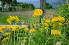 La flor amarilla hermosa le gusta la mini flor del amarillo del girasol foto de archivo