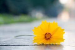 La flor amarilla hermosa llamó el sulphureus de Cosmos Fotos de archivo