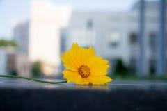 La flor amarilla hermosa llamó el sulphureus de Cosmos Foto de archivo