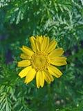 La flor amarilla para arriba se cierra con el fondo verde 4k Fotos de archivo