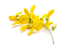 La flor amarilla Sesbania aisló Imagenes de archivo