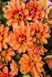 La flor anaranjada de la margarita del Gerbera florece con la abeja de la miel que recoge el polen Imágenes de archivo libres de regalías