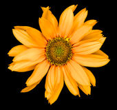 La flor anaranjada de un girasol decorativo Helinthus aisló imagen de archivo libre de regalías