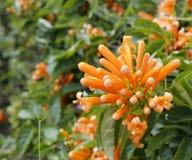 La flor anaranjada del petardo Foto de archivo libre de regalías