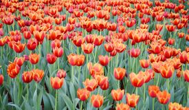 La flor anaranjada del tulipán en el jardín es fondo natural Foto de archivo