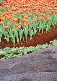 La flor anaranjada del tulipán en el jardín es fondo natural Fotografía de archivo